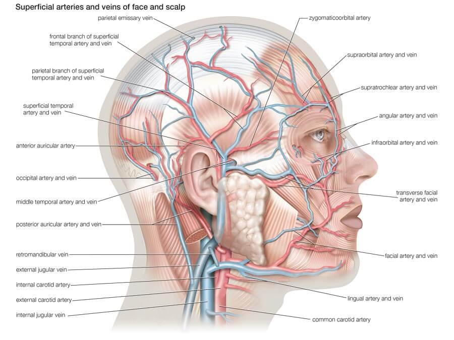 Кровеносные сосуды лица