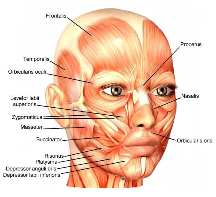 Анатомия : Мимические мышцы или мышцы лица
